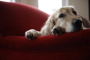 Golden retriever dog lying on sofa, close-up